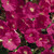 Petunias: Petunia Multiflora, 'Primetime™ Pink'