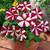 Petunias: Petunia Multiflora, 'Primetime™ Red Star'