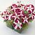 Petunias: Petunia Multiflora, 'Primetime™ Rose Star'