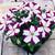 Petunias: Petunia Multiflora, 'Primetime™ Violet Star'