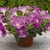 Petunias: Petunia X Hybrida, 'Ramblin'™ Lavender'