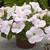 Petunias: Petunia X Hybrida, 'Ramblin'™ Lilac Glo'