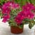 Petunias: Petunia X Hybrida, 'Ramblin'™ Neon Rose'