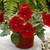 Petunias: Petunia X Hybrida, 'Ramblin'™ Red'