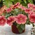 Petunias: Petunia X Hybrida, 'Ramblin'™ Salmon Capri'