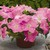 Petunias: Petunia X Hybrida, 'Ramblin'™ Shades O' Pink'