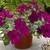 Petunias: Petunia X Hybrida, 'Ramblin'™ Violet'