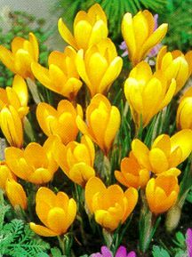 Crocus, Large Flowering Dutch 'Mammoth Yellow'