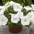 Petunias: Petunia X Hybrida, 'Ramblin'™ White'