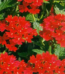 Verbena, Temari™ 'Red'