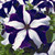 Petunias: Petunia Grandiflora, 'Ultra™ Blue Star'