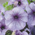 Petunias: Petunia Grandiflora, 'Ultra™ Blue Vein'