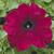 Petunias: Petunia Grandiflora, 'Ultra™ Burgundy'