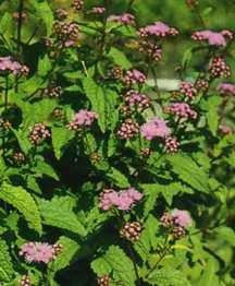 Perennials_eupatorium_coelestinum_wayside_variety-1.full