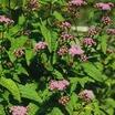 Perennials_eupatorium_coelestinum_wayside_variety-1.thumb