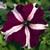 Petunias: Petunia Grandiflora, 'Ultra™ Crimson Star'