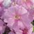 Petunias: Petunia Grandiflora, 'Ultra™ Light Pink Veined'