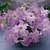 Petunias: Petunia Grandiflora, 'Ultra™ Lilac'