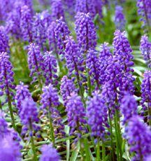 Hyacinths_muscari_armeniacum-1.full