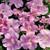 Petunias: Petunia Grandiflora, 'Ultra™ Pastel Pink'