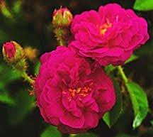 Rose, Old European Antique Moss 'Henri Martin' (1863)