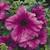 Petunias: Petunia Grandiflora, 'Ultra™ Plum'