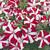 Petunias: Petunia Grandiflora, 'Ultra™ Red Star'