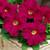 Petunias: Petunia Grandiflora, 'Ultra™ Rose'