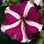 Petunias: Petunia Grandiflora, 'Ultra™ Rose Star'