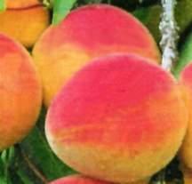Apricot Tree, 'Stark® GoldenGlo™' miniature