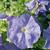 Petunias: Petunia Grandiflora, 'Ultra™ Sky Blue'