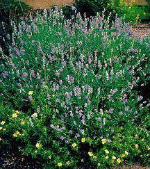 Munstead Strain Lavender