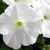 Petunias: Petunia Grandiflora, 'Ultra™ White'