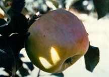 Apple Tree, Semi-dwarf 'Sierra Beauty'