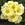 Primulas: Primula Acaulis, 'Orion® Light Yellow'