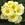Primulas: Primula Acaulis, 'Orion® Light Yellow'
