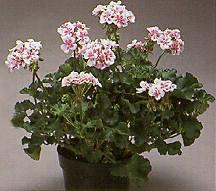 Geranium, Zonal 'Raspberry Ice'