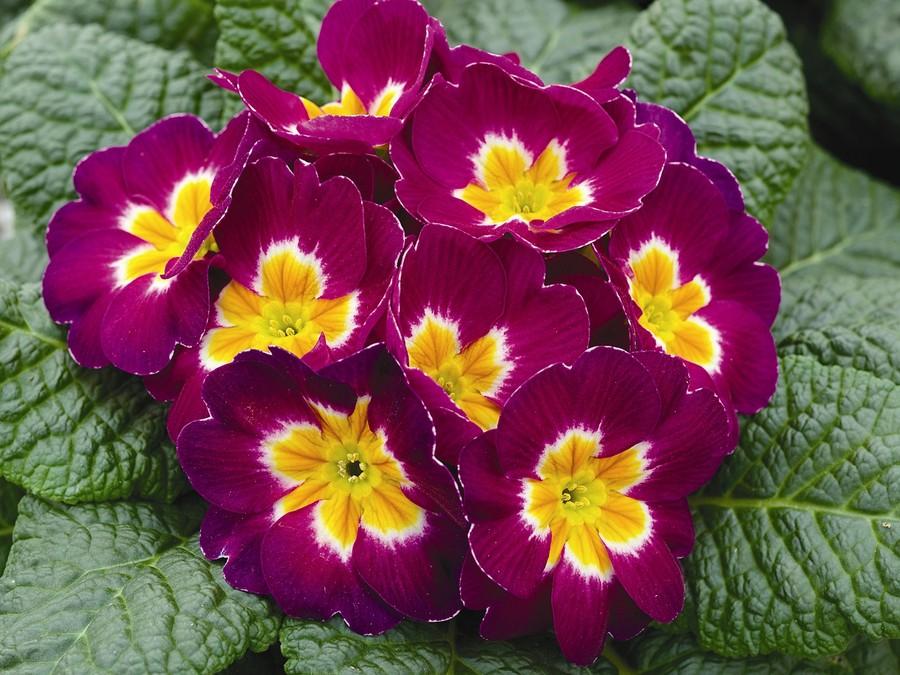 Primulas_primula_acaulis_orion_r_lilac-1.full