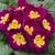Primulas: Primula Acaulis, 'Orion® Lilac'