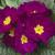 Primulas: Primula Acaulis, 'Orion® Violet'
