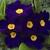 Primulas: Primula Acaulis, 'Primera™  Blue'