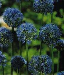 Allium, Ornamental caeruleum