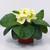 Primulas: Primula Acaulis, 'Primera™ Light Yellow'