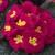 Primulas: Primula Acaulis, 'Primera™ Pink'