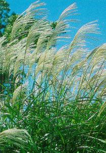 Grass, Maiden 'Sarabande'