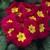 Primulas: Primula Acaulis, 'Primera™ Rose'