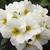 Primulas: Primula Acaulis, 'Primera™ White'