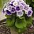 Primulas: Primula Obconica, 'Libre™ Blue Bicolor'