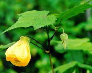 Flowering Maple, 'Apollo'