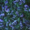 Woodruff, Blue